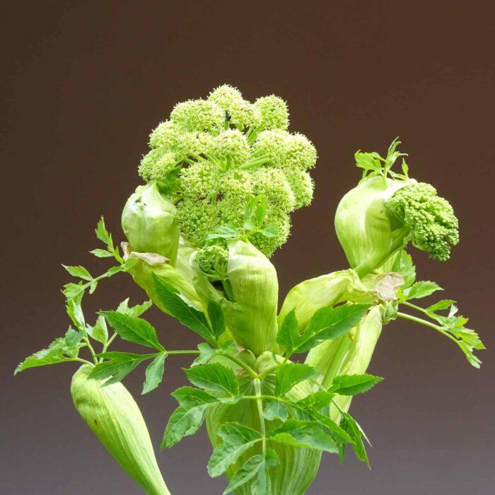 Die alte bekannte Heilpflanze Angelica wird auch Engelwurz genannt.