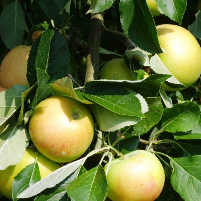 Äpfel am Stamm