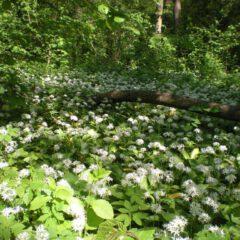 Bärlauch im Laubwald