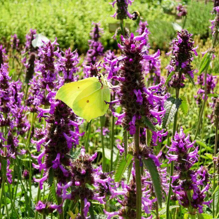 Das Amulettkraut oder auch Heilziest ist eine sehr ergiebige Nahrungsquelle für Insekten.