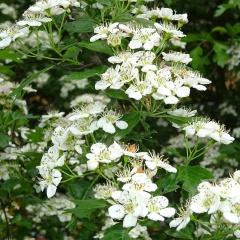 Blüten am Weissdornstrauch