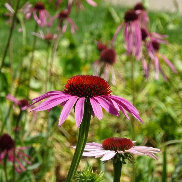 Die Echinacea oder roter Sonnenhut ist auf dem amerikanischen Kontinent beheimatet. Heimisch geworden ist der dekorative Sommerblüher in den Gärten unserer Breiten.
