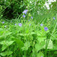 zartblaue Blüten des Ehrenpreis