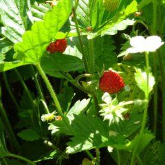 Erdbeerpflanzen liefern nicht nur die leckeren Früchte des Frühsommers. Die Blätter können als Grundstoff für heilende Kräutertees genutzt werden.