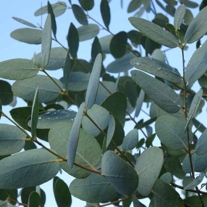Blätter des Eukalyptus