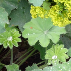 Frauenmantel Blätter und Blüten