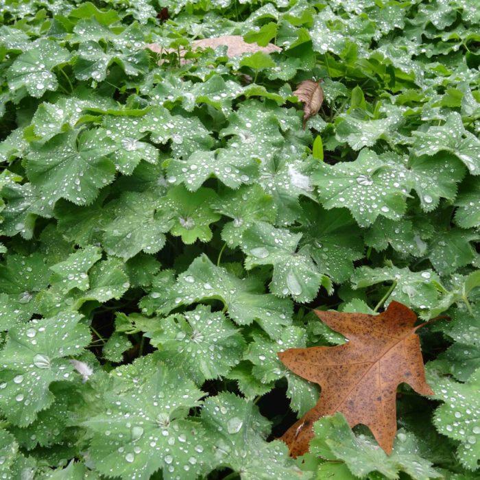 Blätter des Frauenmantel mit Tropfen