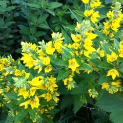 Leuchtend gelbe Blüten des Gilbweiderichs