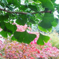 Blätter des Ginkgo