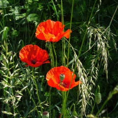 Die Blüten des Klatschmohns werden als Farbspender Kräutertees beigemengt.