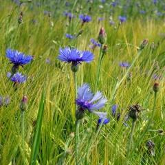 Das Blau der Kornblumen ist vielbesungen und kündet vom Hochsommer.