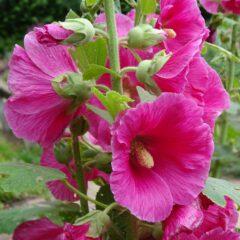 Malvenblüten im Garten