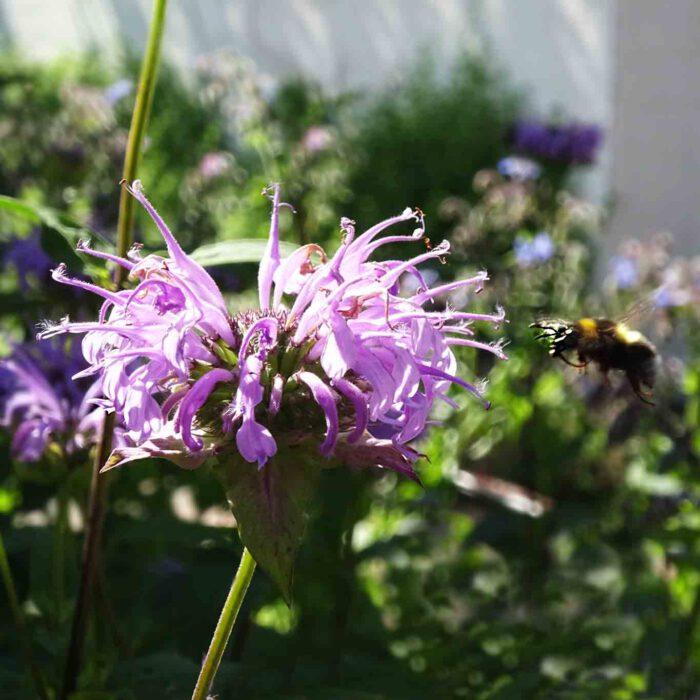 Eine amerikanische Verwandte ist die Goldmelisse (Monarda didyma). Sie wird als Zier-, Heil- und Duftpflanze genutzt. Der Duft der Blüten ist zitronig.