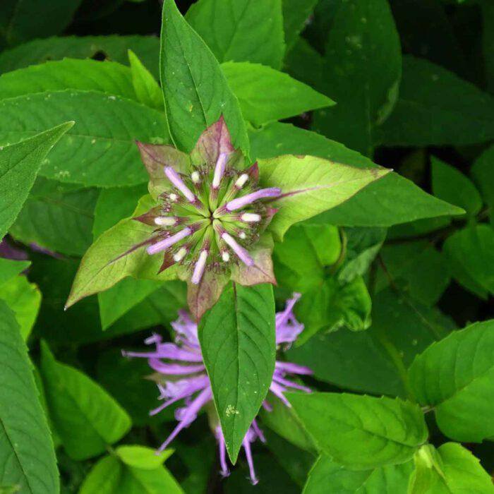 Beim Reiben der Goldmelissenblätter verströmen sie ein Aroma ähnlich des Majoran. Die Blätter eignen sich zum Aromatisieren von Tee - Oswego Tea.