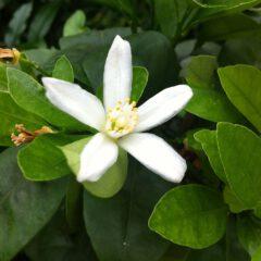 Blüte am Orangenbaum