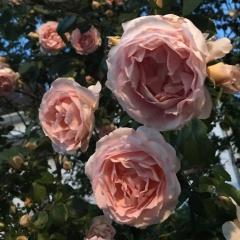 gefüllte Rosenblüten an einem Strauch