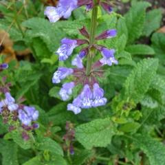 Der Salbei ist eine bekannte Gewürz- und Heilpflanze bei Erkältungen.