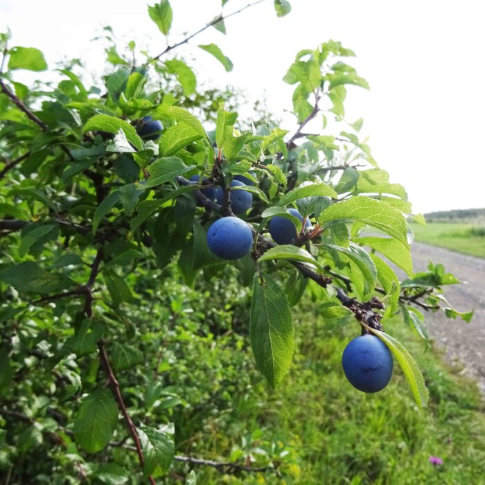 Schlehdorn mit Früchten