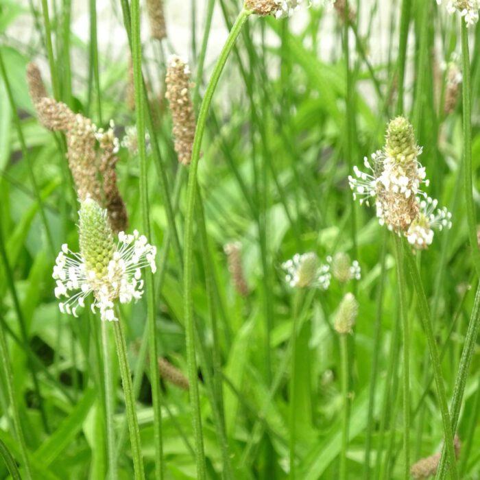 Blütenstände des Spitzwegerich