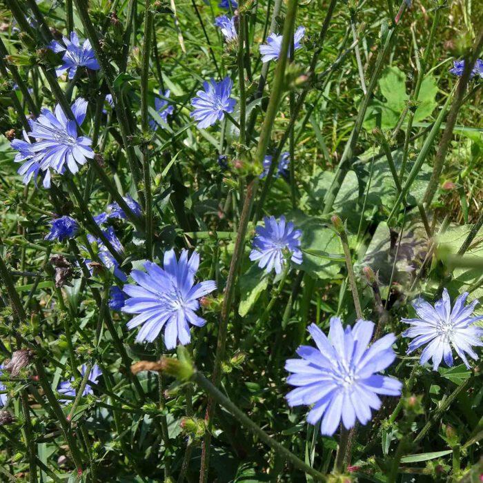 Blüten der Zichorie oder Wegwarte