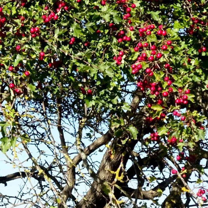 Die roten kugeligen Früchte des Weissdorns erschweren die Unterscheidung zwischen Weissdorn- und Rotdornbüschen.