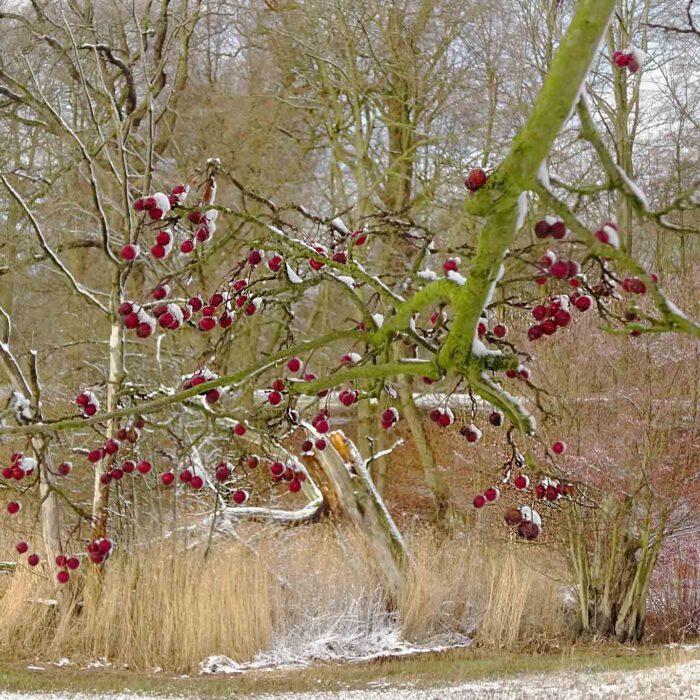Bis spät in den Winter haften die roten Weissdornfrüchte an den Sträuchern und Bäumen.