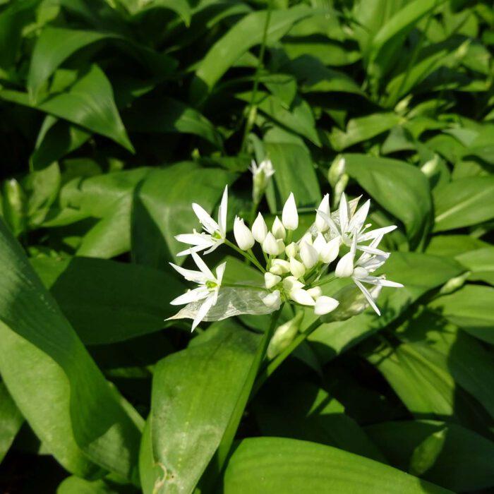Blüte und Blätter vom Bärlauch