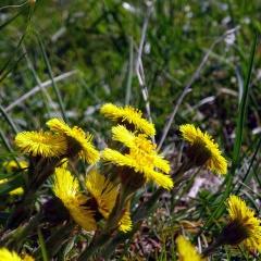 Blütensprossen des Huflattichs