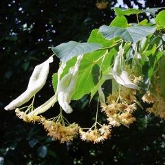 Lindenblüten im vollen Blütestadium sind ideal zum Sammeln und Trocknen für Tees.