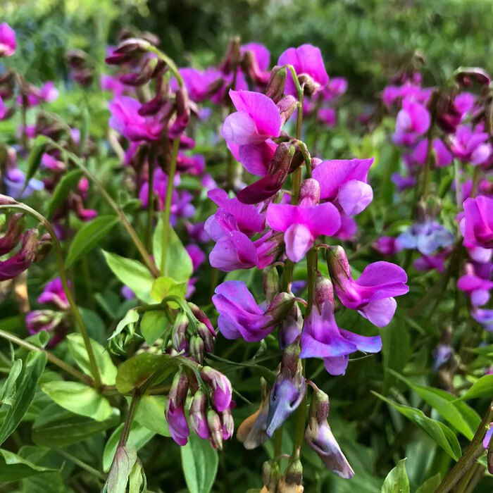Blühenden Frühlingserbsen