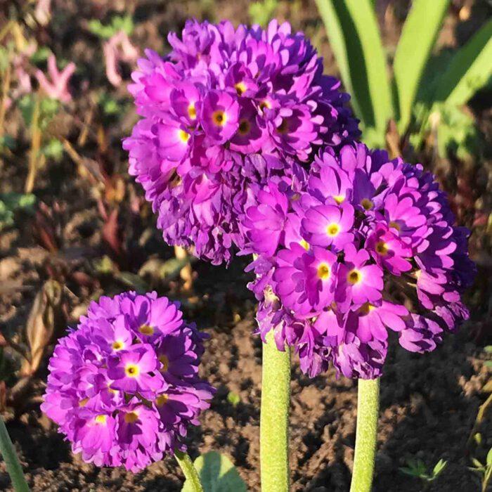Blüten zu jeder Jahreszeit findet man im Lübecker Schulgarten: Primeln im Frühjahr