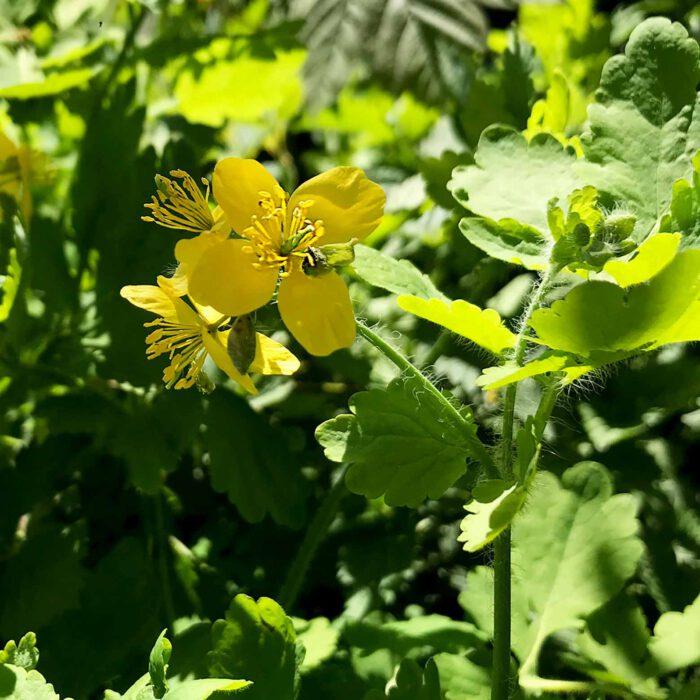 Schöllkraut zählt zu den Rudalpflanzen, die in menschlicher Umgebung wachsen.