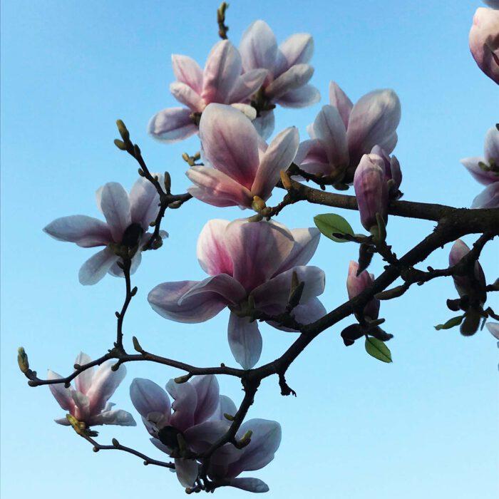 Magnolienblüten sind eine Hochfest fürs Auge im Frühling