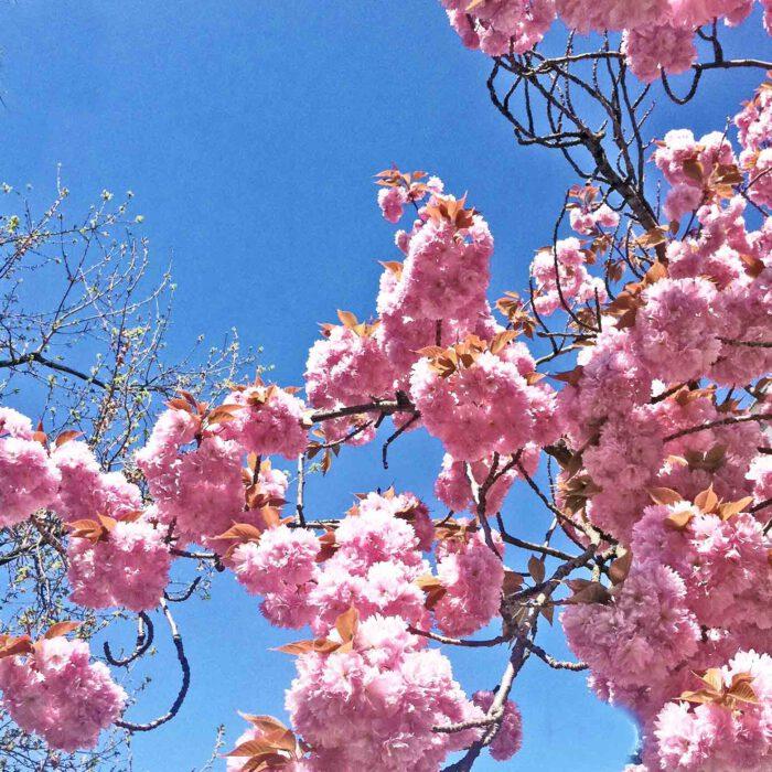 Mandelblüten im Schulgarten zu Lübeck