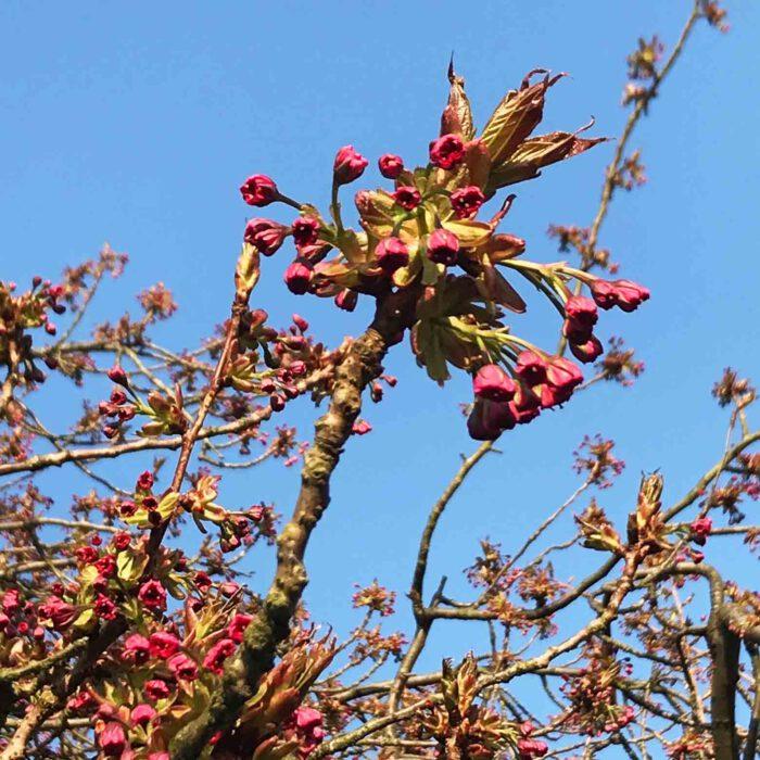 Zweige eine blühenden Zierkirschenbaumes im Schulgarten zu Lübeck