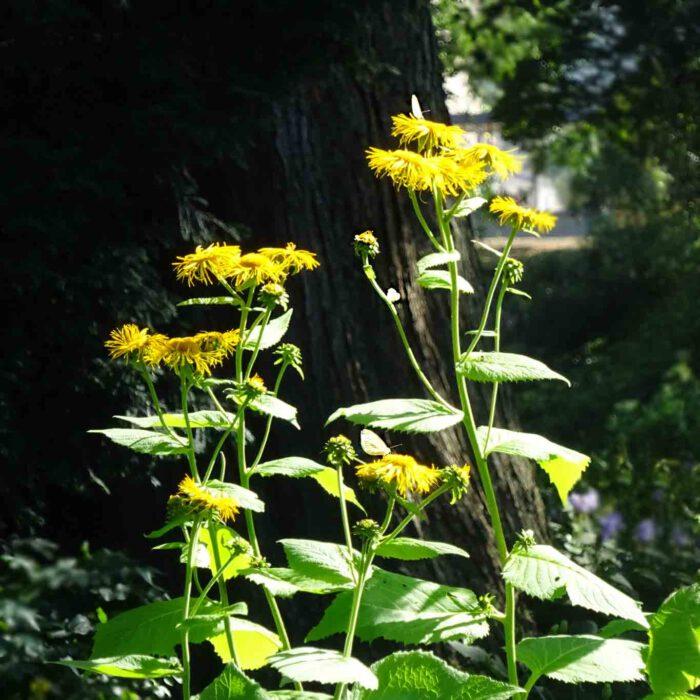 Der Alant ist eine seit dem Altertum bekannte Pflanze mit Wirkpotenzial gegen Lungenleiden.