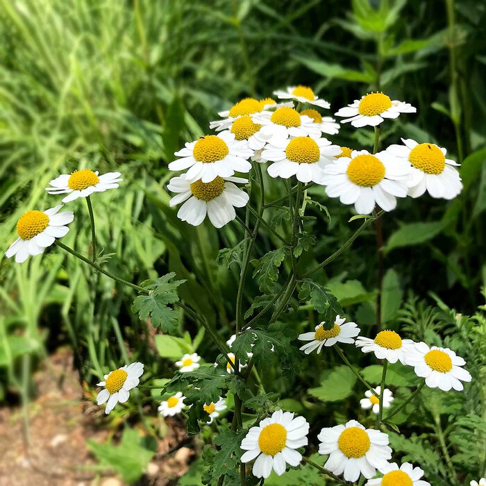 Hildegard von Bingen schätzte schon das Bertramkraut. Es ist eine anerkannte Heilpflanze zur Behandlung von Migräne.