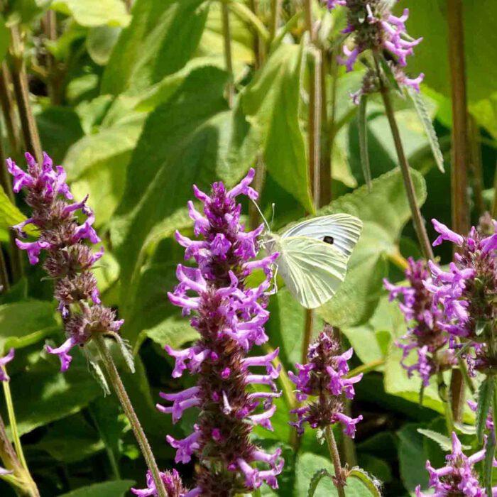 Betonien, Amulettkraut oder Heilziest sind prächtige Nahrungsquellen für Insekten.