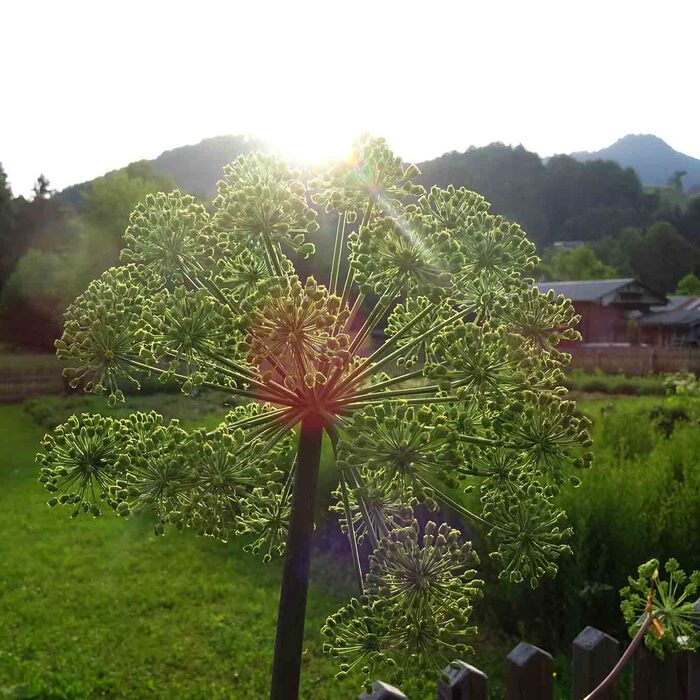 Die Morgensonne streift die Blüten des Engelswurzes.