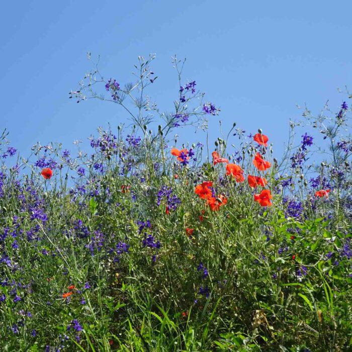 Feld mit Akelei und Mohnblumen