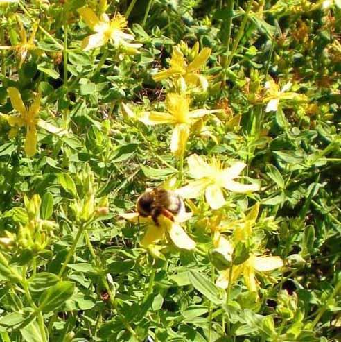 """Bauernregel """"Bienen, die vor Johannis schwärmen, tun des Imkers Herz erwärmen."""""""