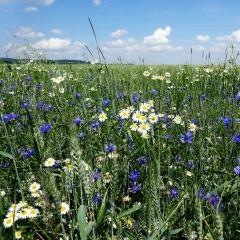 Echte Kamille auf einem Feld in biologischer Landwirtschaft.