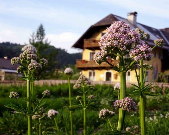 Die beruhigende Heilpflanze Baldrian wird im Kräutergarten des Klosters angebaut.