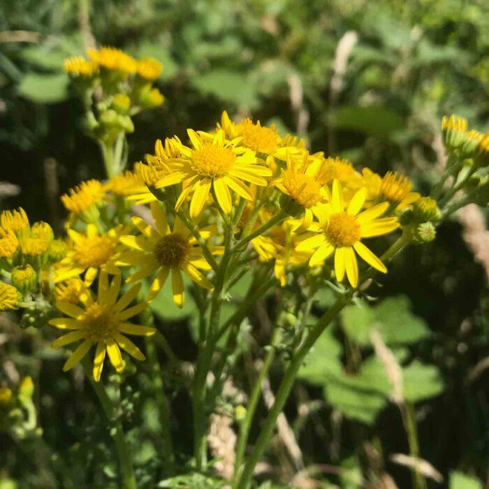 Das freundliche Gelb täuscht. Das Kreuzjacoskraut ist schädlich für Tier und Mensch.