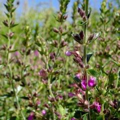 Der Edel-Gamander ist als Heilpflanze weitestgehend in Vergessenheit geraten. Die Eignung für gewisse Indikationen widersprechen sich.
