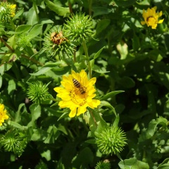 Der kleine gelbe Korbblüher stammt ursprünglich aus den Rocky Mountains. Bereits die amerikanischen Ureinwohner kannten die heilende Wirkung seines Krautes.