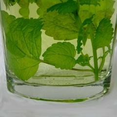 Melissentee aus frischen Blättern ist ein unschlagbares Geschmackserlebnis.