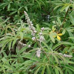 Tatsächlich haben Mönchspfefferfrüchte einen Einfluss auf den Hormonhaushalt. Er ist ein anerkanntes pflanzliches Arzneimittel bei Regelbeschwerden.