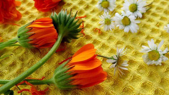 Die Blüten werden locker auf einer sauberen und saugfähigen Unterlage zum Trocknen ausgelegt.