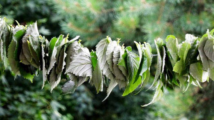 Die gesammelten Blätter werden locker auf eine Schnur aufgefädelt und zum Trocknen an einen hellen und luftigen Ort gehängt.